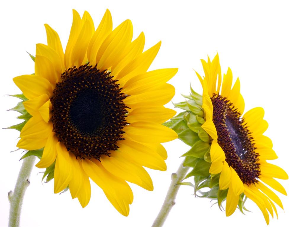 Sunflower Wallpaper With Quote 서니 해바라기 사진의 Hd 벽지 28 1024x768 배경 화면 다운로드 서니 해바라기 사진의
