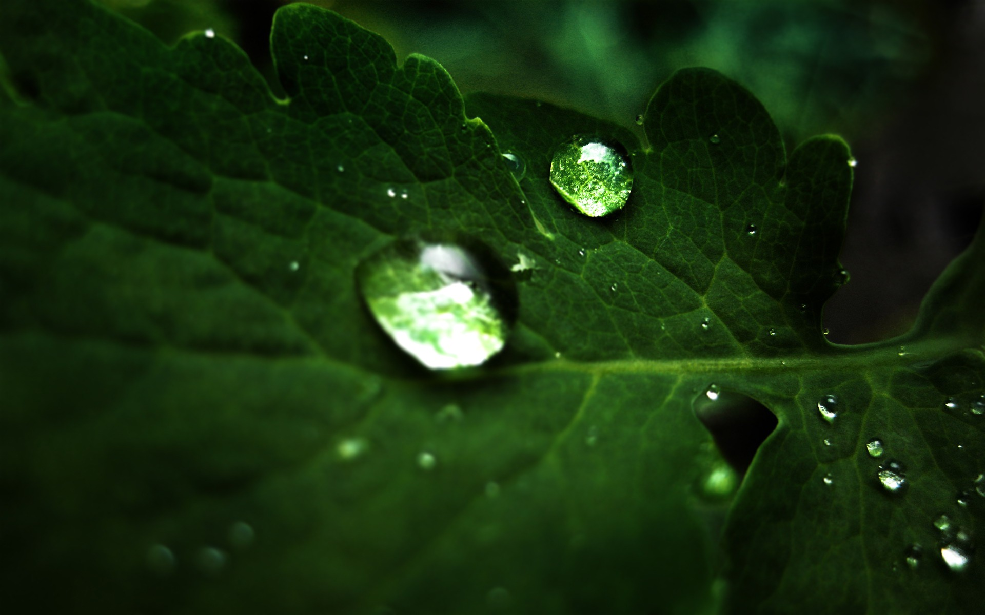 Drop Of Water Falling From A Leaf Dark Background Wallpaper Hd Widescreen Wallpaper Pflanzen 3 1920x1200 Wallpaper
