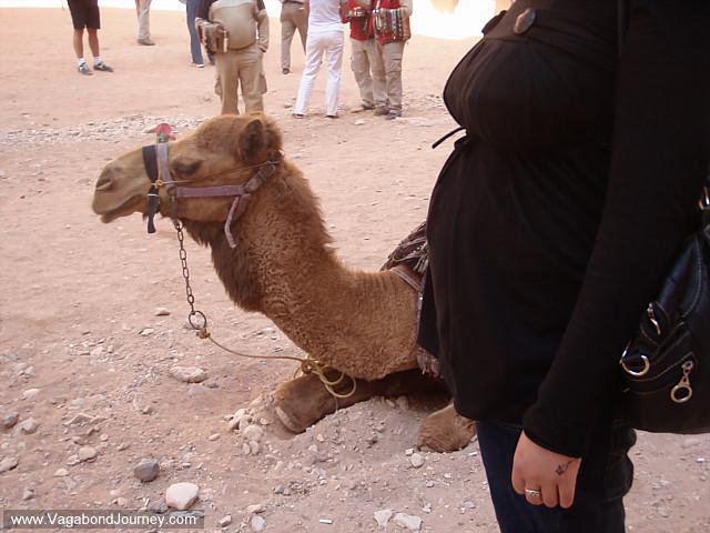 camel and chaya's pregnant belly at petra