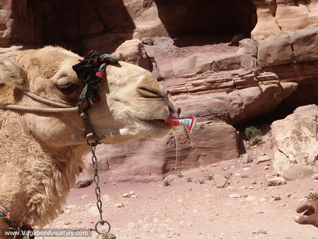 photo of a camel drinking coca cola