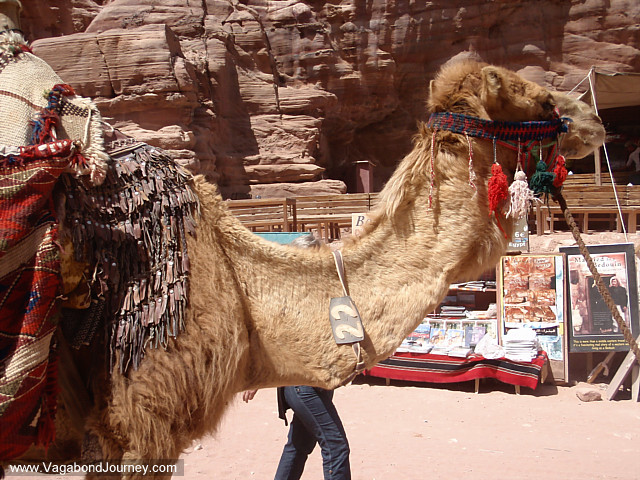 photo of a camel in jordan