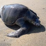 Sea turtle that got caught in a fishing net dead on beach