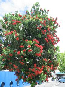 Christmas tree in New Zealand