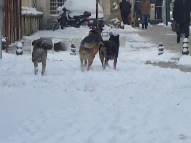 dogs in Istanbul snow