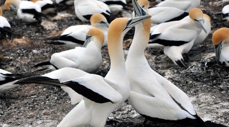 New Zealand Gannet Safari