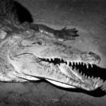 croc bw