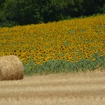 zonnenbloemen veld (Medium)
