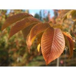 Small Crop Of Ornamental Pear Tree