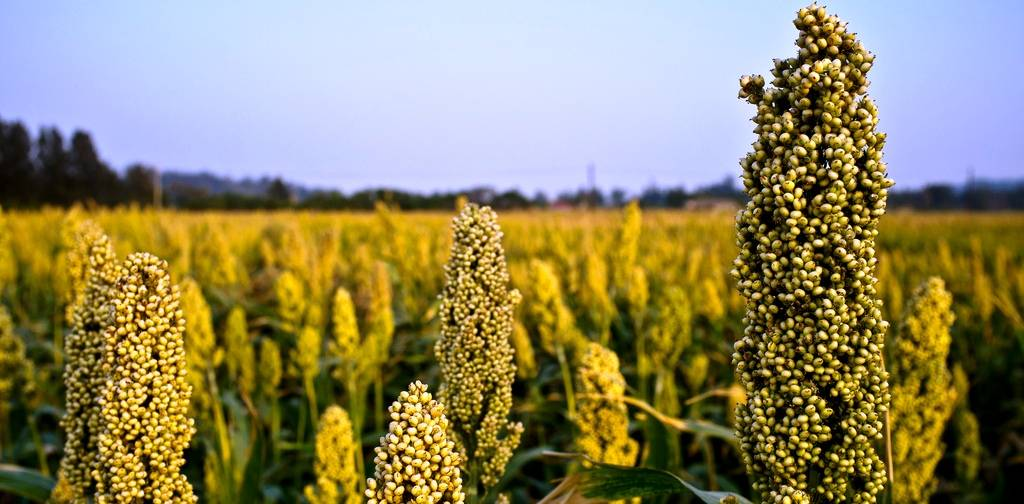 Heath Benefits of Sorghum