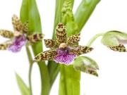 orquidea zygopetalum características por anderson santos e vamos receber