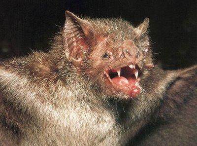 vampire_bat