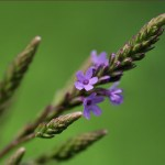 More on Vervain