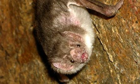 vampire bat cute