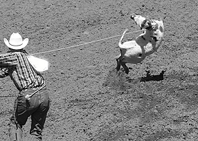 Calf-roping is a cruel rodeo event at the Calgary Stampede.