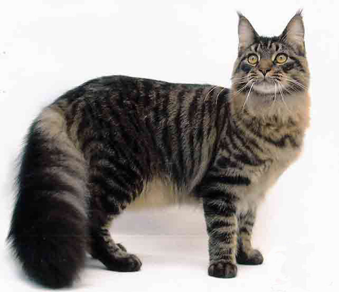 MAINE COON PICTURES, PICS, IMAGES AND PHOTOS FOR INSPIRATION