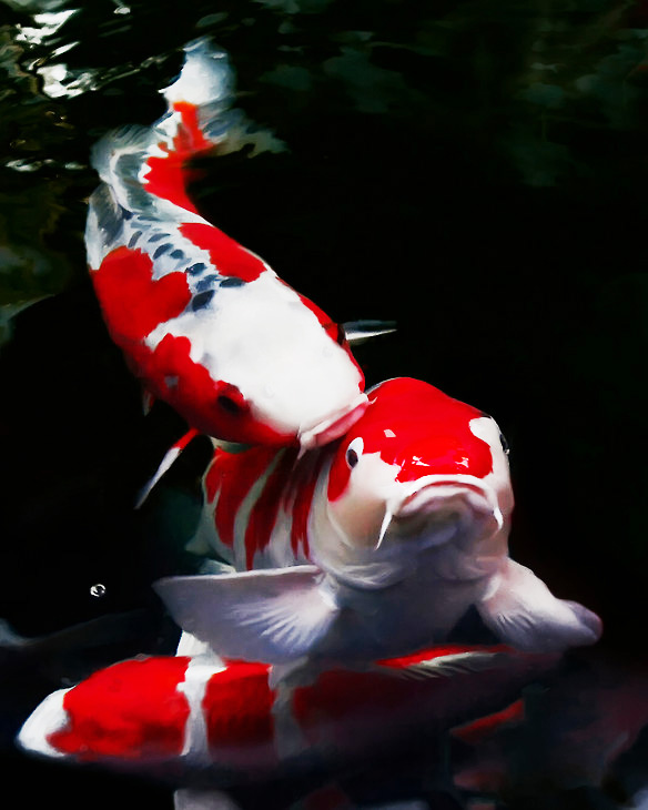 3d Fish Wallpaper Live Koi Pictures Pics Images And Photos For Your Tattoo