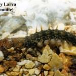 Dobsonfly larvae. Credit: Missouri Dept of Conservation.