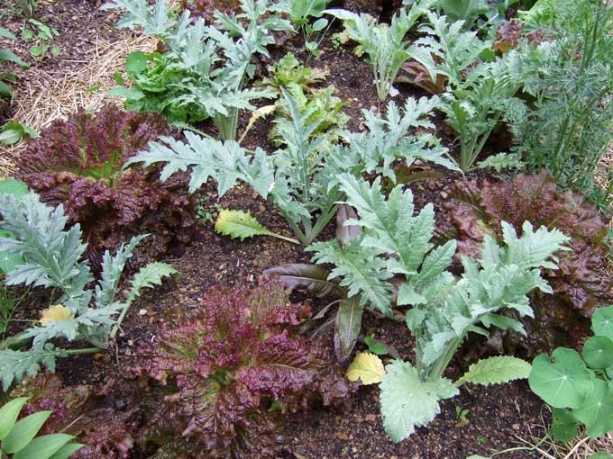 Growing Artichokes In Spite Of Mother Nature — Veggie Gardening Tips