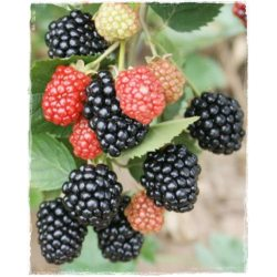 Small Crop Of Triple Crown Blackberry