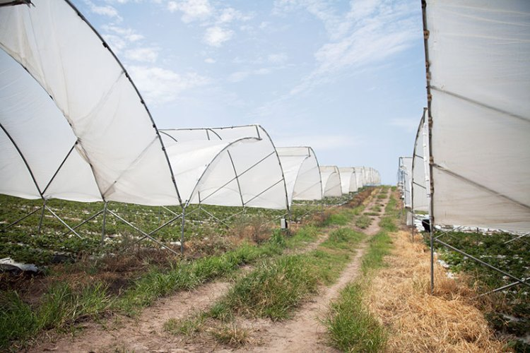 The 'tunnels' where the strawberries are grown