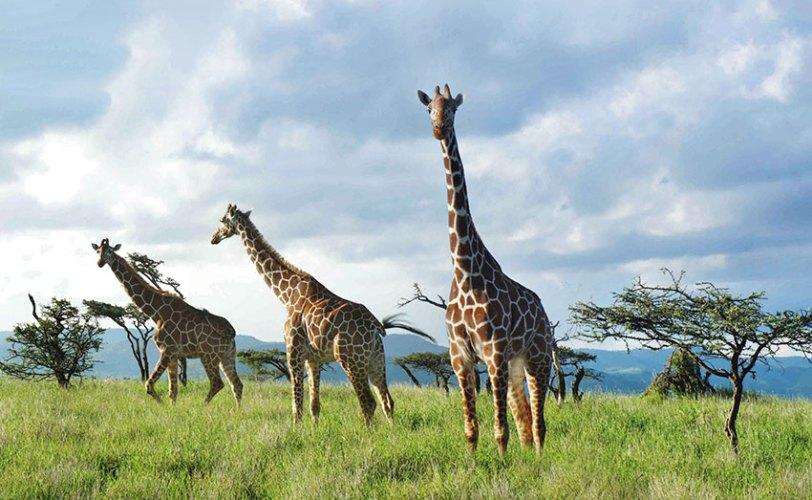 Giraffes stalk The Lew Wildlife Conservancy