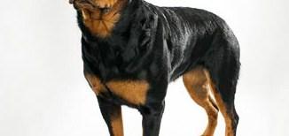 Rottweiler - Guard Dog