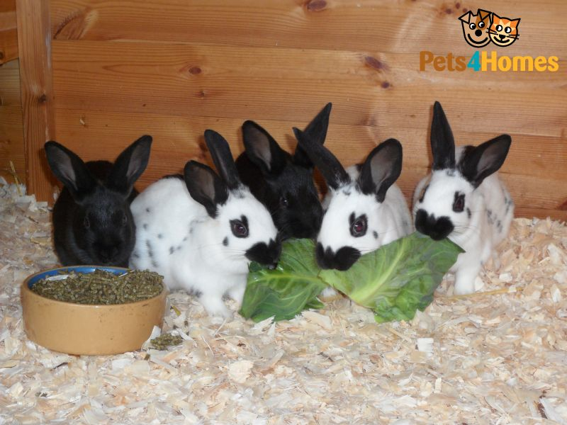Megacolon  Rabbits mishmash storage page - The curse of the 33 spots