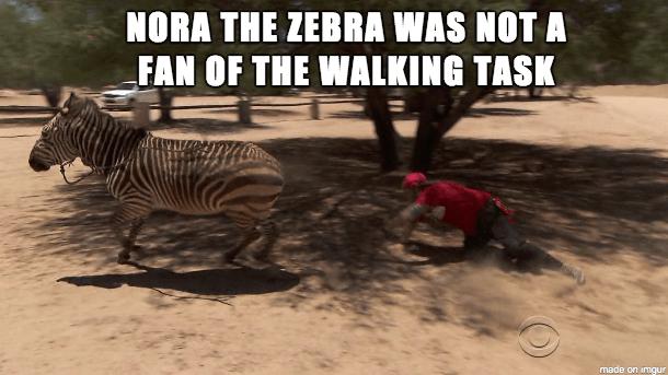 Amazing Race: Feisty Zebras