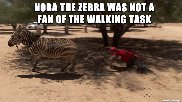Amazing Race: Feisty Zebras