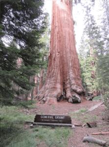 sequoia_Grant