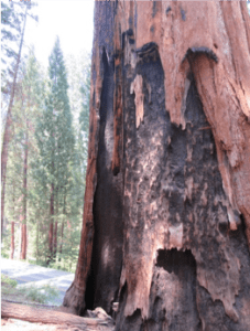 sequoia_burned