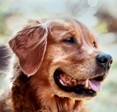 Portrait des Golden Retriever Benny