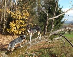 Zwei Hunde auf einem Ast am Wiesenrand
