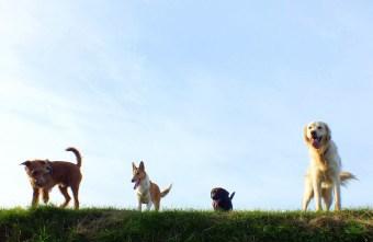 Foto vier Hunde auf der Wiese