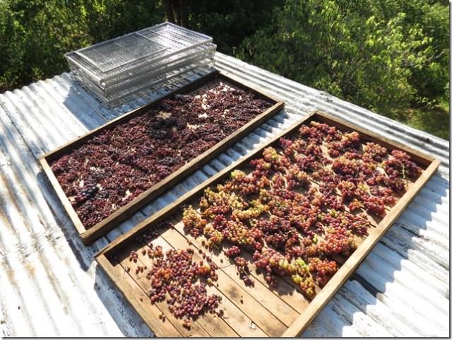 Grapes waiting to become raisins
