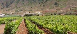 Viñedos en la D.O. Tacoronte Acentejo (Tenerife)