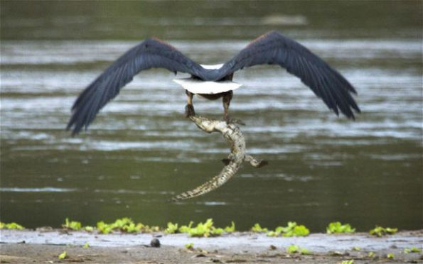 eagle catches crocodile