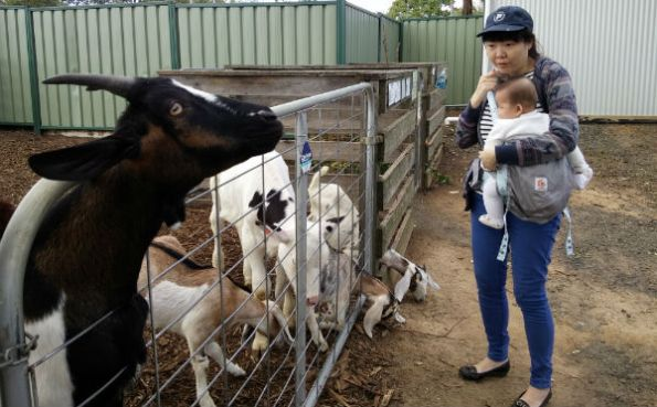 Oli looking at goats