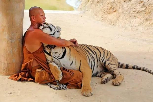 tigre643