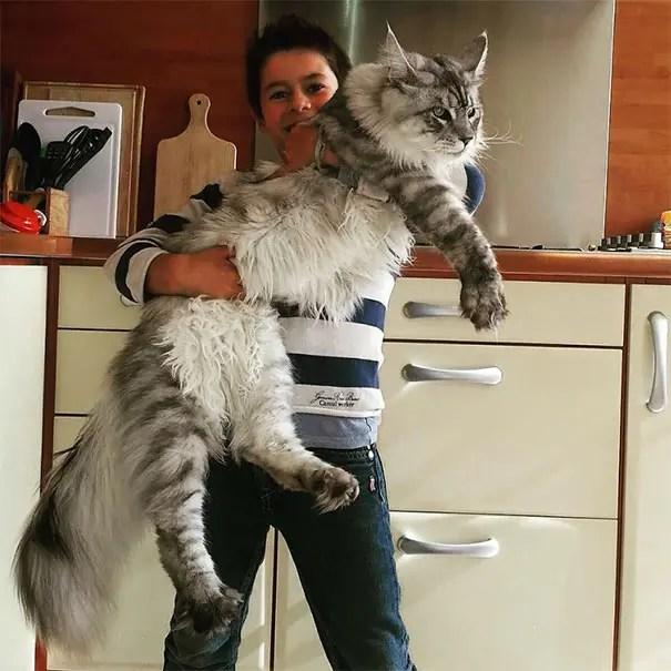 gato coon 1