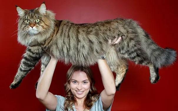 gato coon 10