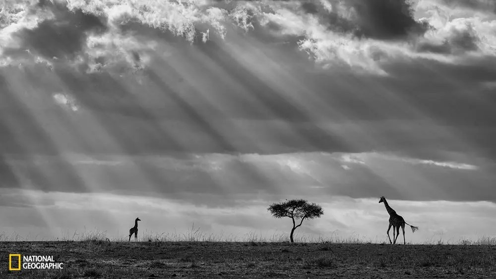 A baby giraffe seems to call the mother under an incredible sky full of sun rays.