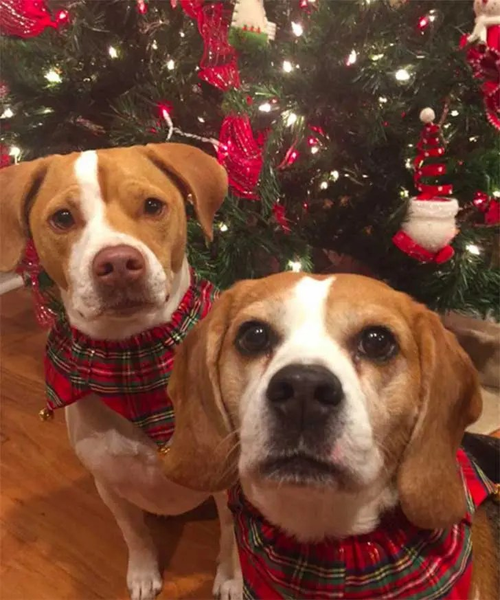 familia-perros-navidad9