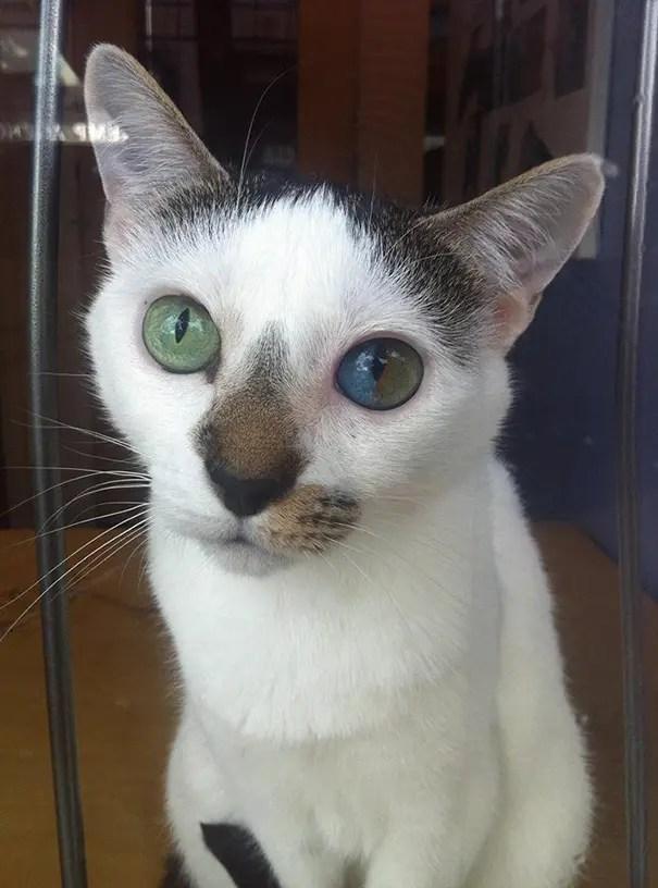 gatos heterocromia 7