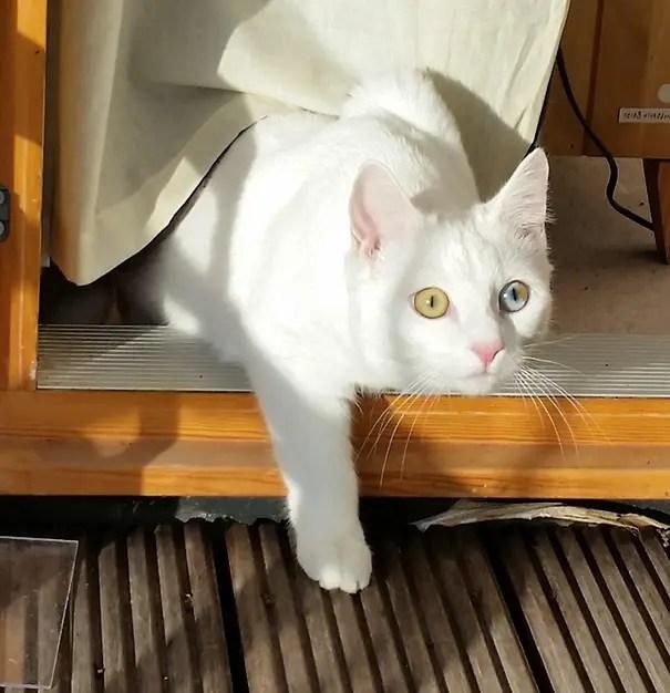 gatos heterocromia 9