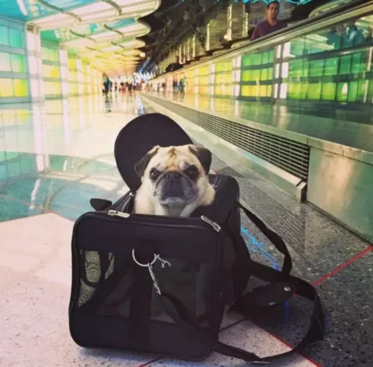 utilizan-perros-para-calmar-pasajeros-nerviosos12