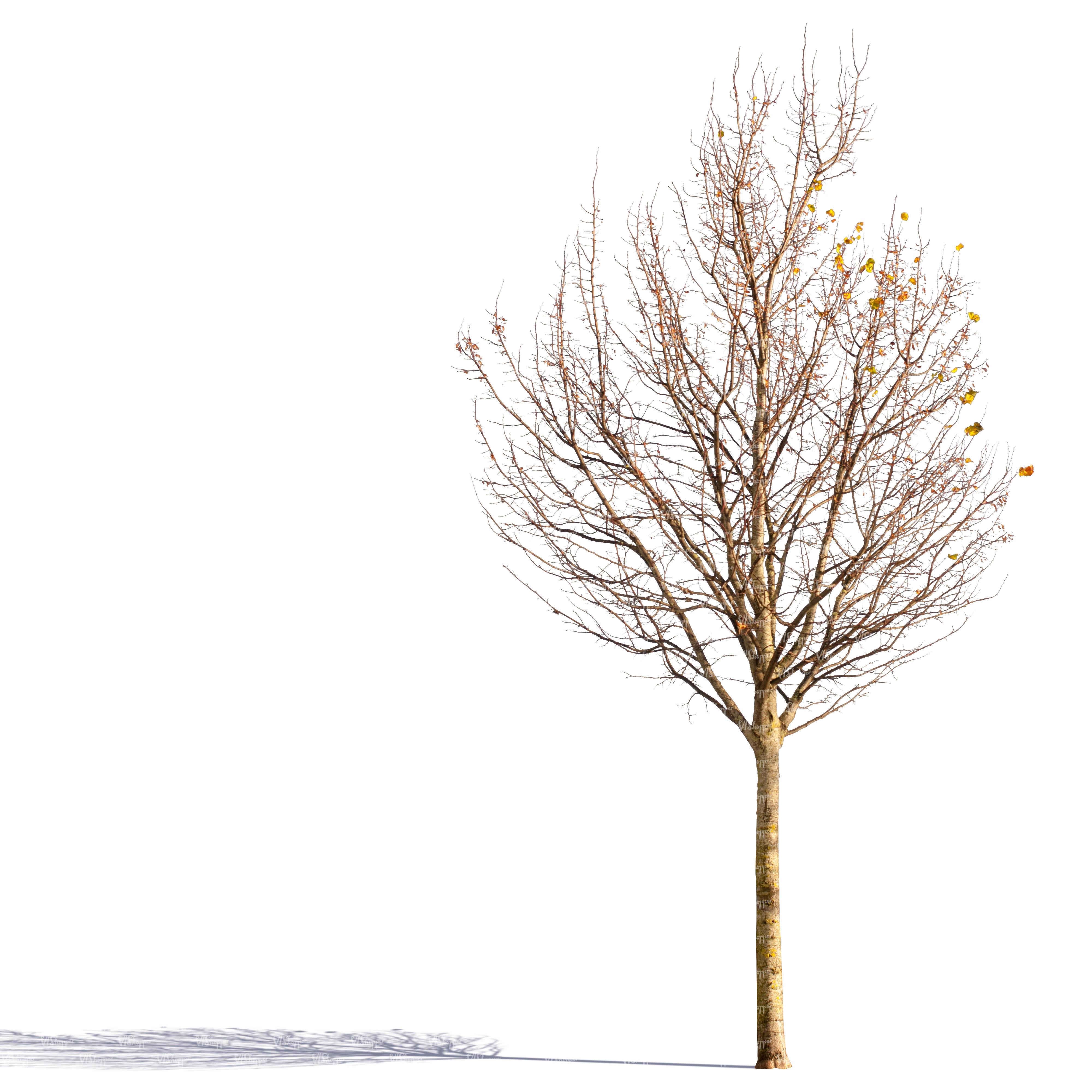 Fullsize Of Tree No Leaves