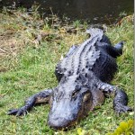 Alligators of the Everglades : Southern Florida