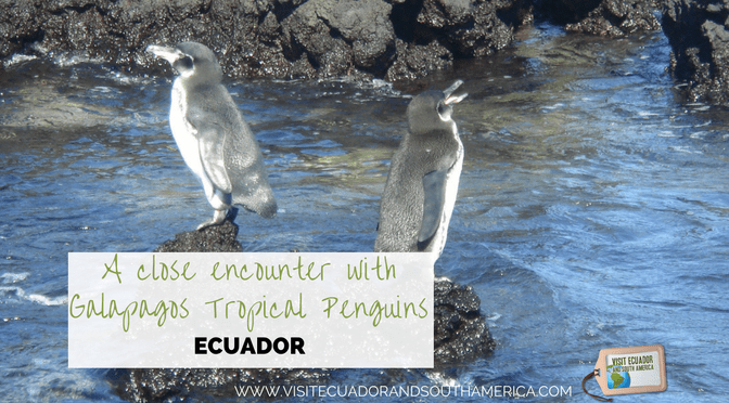 galapagos-tropical-penguins-ecuador