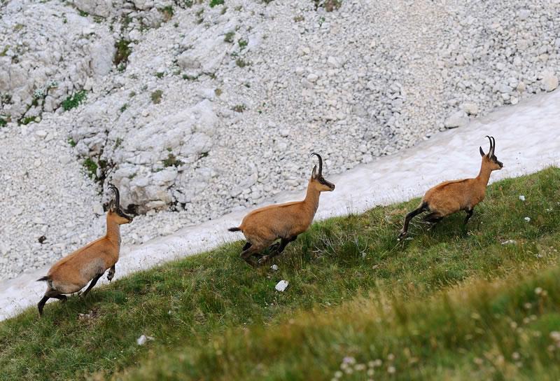 Camosci Lama dei Peligni